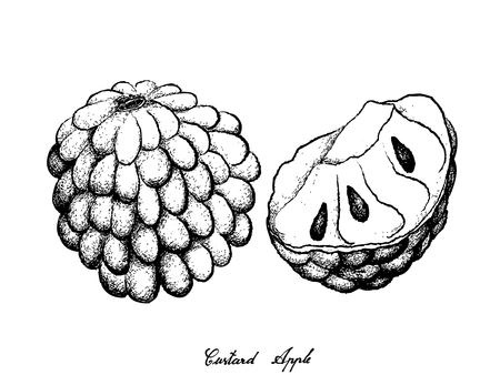 Tropical Fruit, Illustration Hand Drawn Sketch of Custard Apple and Annona Reticulata Fruit Isolated on White Background.  일러스트