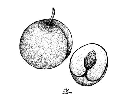 Fresh Fruits, Illustration of Hand Drawn Sketch Fresh Plum Isolated on White Background.