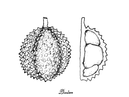 Tropical Fruit, Illustration Hand Drawn Sketch of Durian Isolated on White Background. One of The Most Popular Fruits in The World.