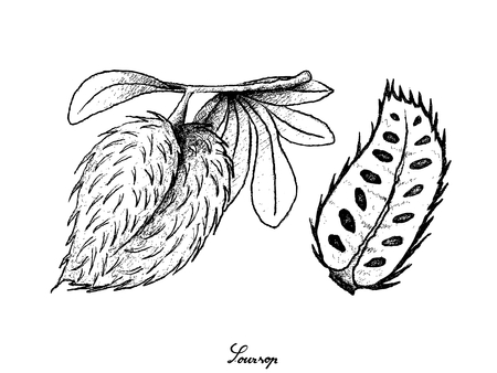 Tropical Fruit, Illustration Hand Drawn Sketch of Soursop or Annona Muricata Fruit Isolated on White Background.
