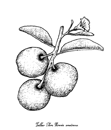 Fresh Fruits, Illustration of Hand Drawn Sketch Fresh Tallow Plum or Ximenia Americana Fruits Isolated on White Background.