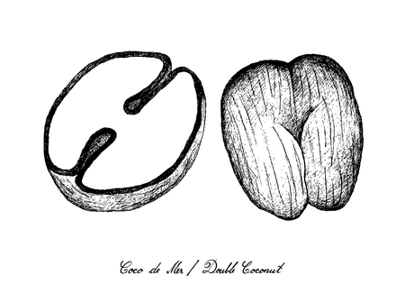 Tropical Fruits, Illustration of Hand Drawn Sketch Coco de Mer or Double Coconut Fruits Isolated on White Background.