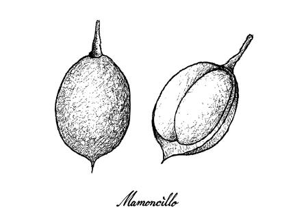 Tropical Fruits, Illustration of Hand Drawn Sketch Fresh Mamoncillo, Spanish Lime, Ackee or Melicoccus Bijugatus Fruits Isolated on White Background.