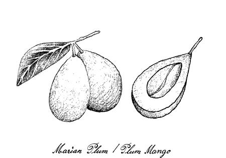 新鮮な果物、手描きスケッチ新鮮なマリアンプラムや白い背景に隔離プラムフルーツのイラスト。  イラスト・ベクター素材