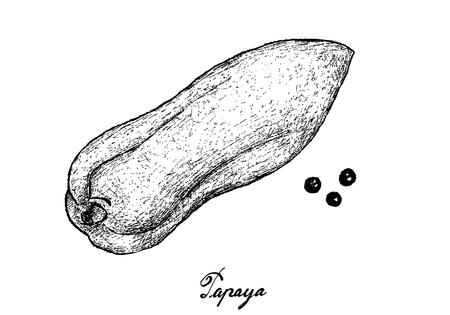Tropical Fruits, Illustration of Hand Drawn Sketch Fresh Ripe Papaya Fruit Isolated on White Background. Illustration