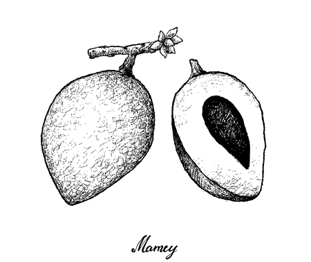 Tropical Fruits, Illustration of Hand Drawn Sketch Mamey Sapote or Pouteria Sapota Fruits Isolated on White Background. Illustration
