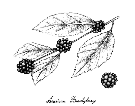 Berry Fruits, Illustration of Hand Drawn Sketch American Beautyberry or Callicarpa Americana Fruits on The Branch Isolated on White Background.