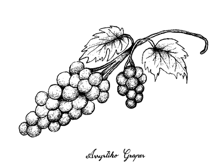 Berry Fruits, Illustration of Hand Drawn Sketch Bunch of Fresh Juicy Assyrtiko or Asyrtiko Grapes Isolated on White Background. 일러스트