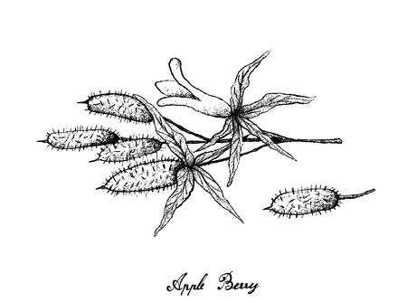 Berry Fruit, Illustration Hand Drawn Sketch of Fresh Apple Berries, Apple Dumpling or Billardiera Scandens Fruits Isolated on White Background. Illustration