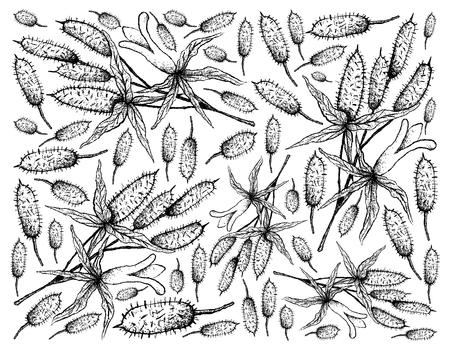 Berry Fruit, Illustration Wallpaper Background of Hand Drawn Sketch of Fresh Apple Berries, Apple Dumpling or Billardiera Scandens Fruits.