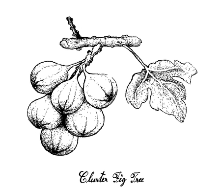 Fresh Fruit, Illustration of Hand Drawn Sketch Delicious Fresh Cluster Fig Tree or Ficus Racemosa Isolated on White Background. Vettoriali