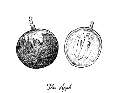 Tropical Fruit, Illustration Hand Drawn Sketch of Star Apple or Chrysophyllum Cainito Fruits Isolated on White Background.