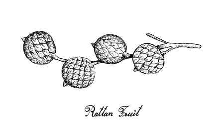 Tropical Fruits, Illustration of Hand Drawn Bunch of Sketch Rattan Fruits Isolated on A White Background. 向量圖像