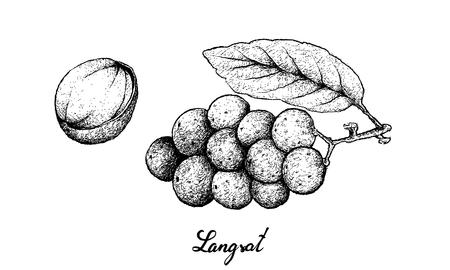 Fresh Fruits, Illustration of Hand Drawn Sketch Bunch of Langsat or Lansium Parasiticum Fruits Isolated on White Background. Illustration