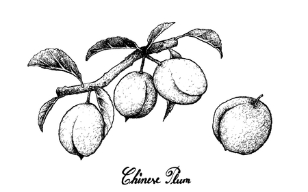 Fresh Fruits, Illustration of Hand Drawn Sketch Chinese Plum, Japanese Plum or Prunus Salicina Fruits Isolated on White Background.