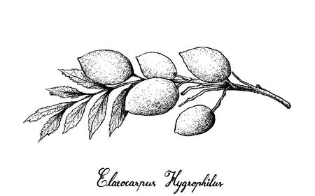 Fruta tropical, Ilustración de croquis dibujado a mano de frutas frescas Elaeocarpus Hygrophilus aisladas sobre fondo blanco.