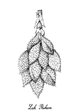 Tropical Fruits, Illustration of Hand Drawn Sketch Luk Rakam or Salacca Wallichiana Fruits Isolated on A White Background.