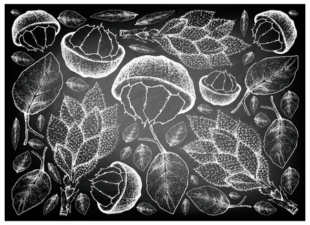 Tropical Fruits, Illustration Wallpaper Background of Hand Drawn Sketch Sandoricum Koetjape, Santol or Krathon on Black Chalkboard. A Tropical Fruit in Asia. Illustration