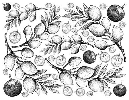 Fruta tropical, Ilustración Fondo de pantalla Boceto dibujado a mano de Star Apple o Chrysophyllum Cainito y Elaeocarpus Hygrophilus Fruits. Ilustración de vector