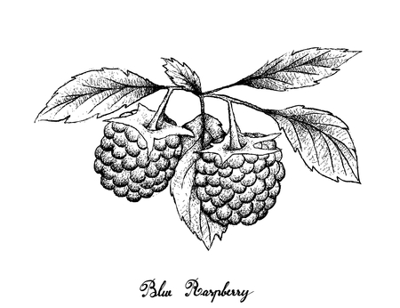 Berry Fruits, Illustration of Hand Drawn Sketch Delicious Fresh Blue Raspberries With Green Leaves Isolated on White Background. Illustration
