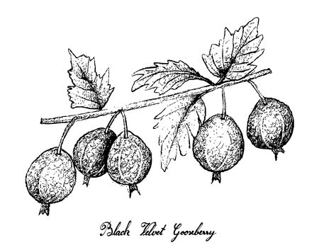 Berry Fruits, Illustration of Hand Drawn Sketch Fresh Black Velvet Gooseberry or Ribes Oxyacanthoides Fruit Isolated on White Background.