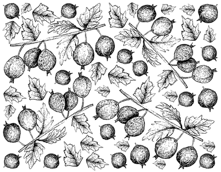 Berry Fruits, Illustration Wallpaper Background of Hand Drawn Sketch Fresh Black Velvet Gooseberry or Ribes Oxyacanthoides Fruit Isolated on White Background. 向量圖像