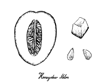 Exotic fruit, illustration hand drawn sketch of honeydew melon or cucumis melo isolated on white background.