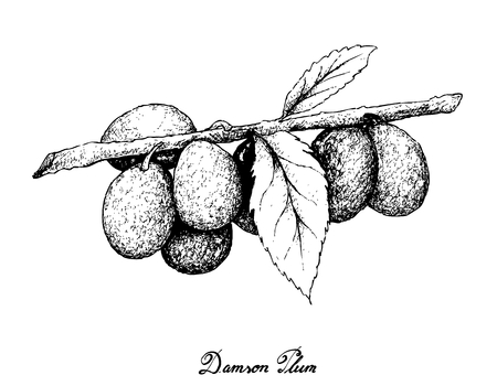 Exotic fruits, illustration of hand drawn sketch bunch of damson plum or prunus domestica fruits isolated on white background. Illustration