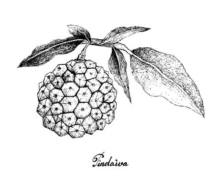 Exotic fruit, illustration hand drawn sketch of pindaiva, pindaiba, pindauva or perovana fruits isolated on white background.
