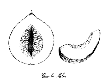Exotic fruit, illustration hand drawn sketch of casaba melon fruit isolated on white background.