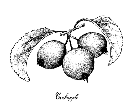 Exotic fruit, illustration hand drawn sketch of crabapple or malus fruits isolated on white background.