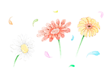 Symbol of Love, Bright and Beautiful Gerbera and Osteospermum Daisy Flowers or Cape Daisy Blossoms Isolated on White Background.