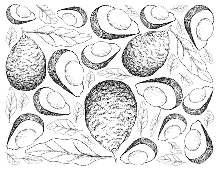 Berry Fruit, Illustration Wallpaper Background of Hand Drawn Sketch of Delicious Fresh Green Avocado or Persea Americana Fruits. High in vitamins C, E, K, and B-6 with Lutein, Beta Carotene and Omega 3. Illustration