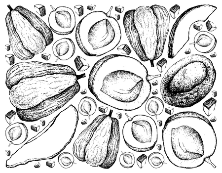 Exotic Fruits, Illustration Wallpaper Background of Hand Drawn Sketch Apricot and Chayote or Sechium Edule Fruits. Illustration