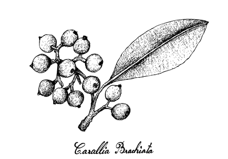 Berry Fruit, Illustration Hand Drawn Sketch of Carallia Brachiata Fruits Isolated on White Background.