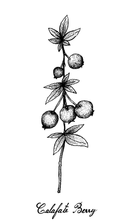 Berry Fruit, Illustration Hand Drawn Sketch of Fresh Calafate Berry or Berberis Microphylla Fruits Isolated on White Background.