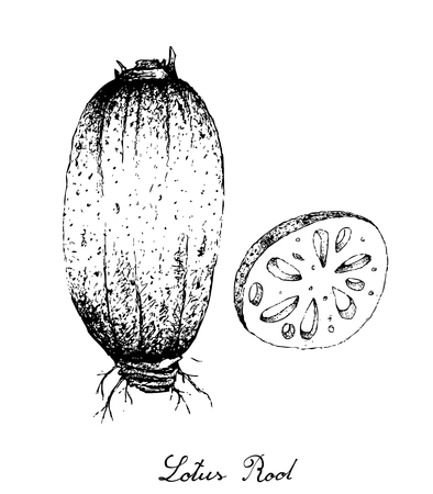 Bulb Vegetable, Illustration of Hand Drawn Sketch Sliced Lotus or Water Lily Root Isolated on White Background. Illustration