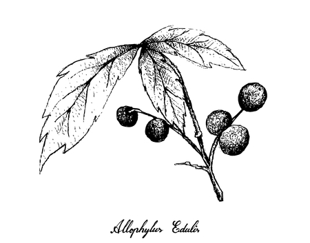 Berry Fruits, Illustration of Hand Drawn Sketch Allophylus Edulis or Chal-Chal Fruits Hanging on The Bunch Isolated on White Background. Ilustração