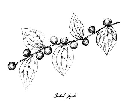 Berry Fruit, Illustration Hand Drawn Sketch of Jackal Jujube or Ziziphus Oenoplia Fruits Isolated on White Background. Ilustracje wektorowe