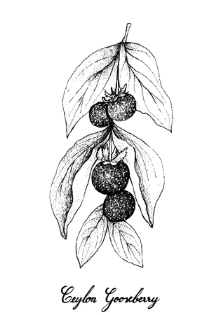 Berry Fruits, Illustration of Hand Drawn Sketch Fresh Ceylon Gooseberries Isolated on White Background.