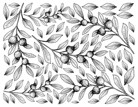 Berry Fruit, Illustration Wallpaper of Background of Hand Drawn Sketch of Cambui Roxo, Rainforest Plum or Eugenia Candolleana Fruits.  Illustration