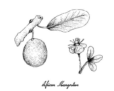 Tropical Fruits, Illustration of Hand Drawn Sketch African Mangosteen or Garcinia Livingstonei Fruits Isolated on White Background. Illustration
