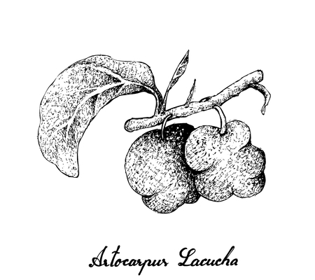 Fresh Fruits, Illustration of Hand Drawn Sketch Monkey Jack or Artocarpus Lacucha Fruits Isolated on A White Background. High in Calcium with Essential Nutrient for Life.