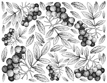 Berry Fruit, Illustration Wallpaper Background of Hand Drawn Sketch of American Elder or Sambucus Canadensis Fruits. Vector illustration.