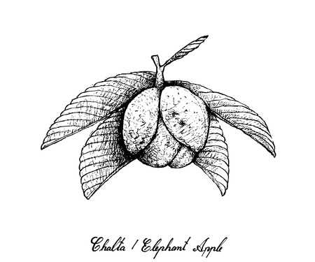 Hand Drawn Illustration of Chalta, Elephant Apple or Dillenia Indica Fruits Isolated on White Background. Illustration