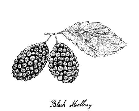 Fruits tropicaux, illustration de croquis dessinés à la main mûres noires douces fraîches ou fruits Morus Nigra accroché sur une branche d'arbre isolé sur fond blanc. Riche en vitamine C, K et B2.