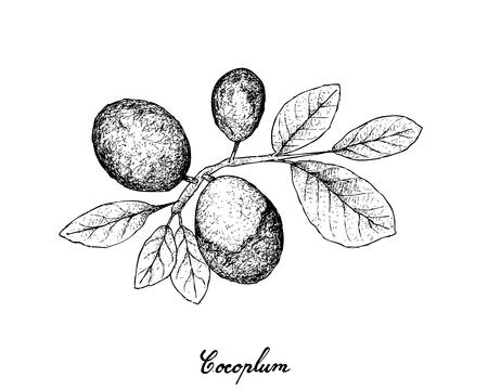 Fresh Fruits, Illustration of Hand Drawn Sketch Fresh Cocoplum, Paradise Plum, Abajeru or Chrysobalanus Icaco Fruits Isolated on White Background. High in Vitamin C, Calcium and Iron.