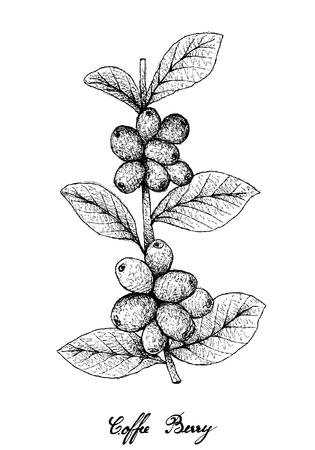 Tropical Fruits, Illustration of Hand Drawn Sketch Ripe Coffee Berries or Coffea Arabica Fruits on Tree Branch Isolated on White Background. Used to Make Coffee Beverages and Products. Archivio Fotografico - 102261173