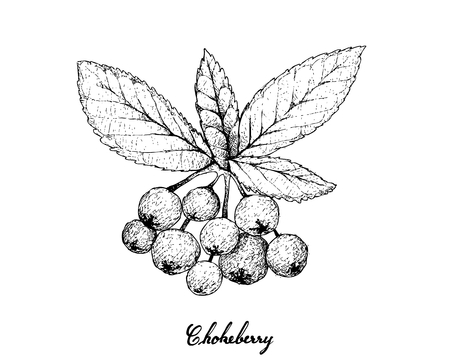 Tropical Fruits, Illustration of Hand Drawn Sketch Bunch of Fresh Aronia or Chokecherries Hanging on Tree Branch Isolated on White Background. High in Vitamin A and C with Essential Nutrient for Life.