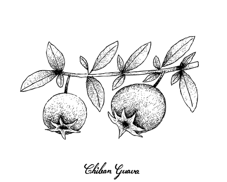 Tropical Fruits, Illustration of Hand Drawn Sketch Chilean Guava, Strawberry Myrtle or Ugni Molinae Fruits Isolated on White Background. High in Vitamin A, B and C with Essential Nutrient for Life.